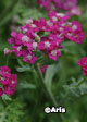 Achillea millefolium 'New Vintage™ Violet' – Choose 5