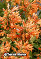 Agastache 'Poquito Orange'™