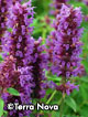 Agastache 'Blue Boa' -- Pkg. of five