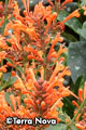 Agastache 'Kudos Mandarin' – Order soon, two available!