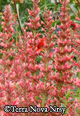 Agastache 'Summer Fiesta' -- Pkg. of four plants