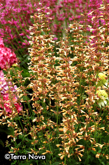 Agastache 'Summer Glow' -- Pkg. of five