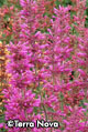 Agastache 'Summer Love' pkg. of five