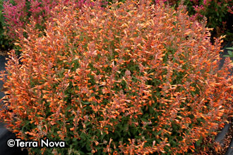 Agastache 'Summer Sunset' – Sorry, sold out