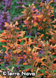 Agastache 'Summer Sunset' Pkg. of five plants