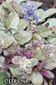 Ajuga reptans 'Burgundy Glow' -- Package of four