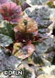 Ajuga reptans 'Party Colors' package of five