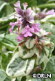 Ajuga reptans 'Pink Lightning' -- Package of four