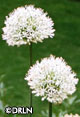 Allium 'Mount Everest' -- Not available