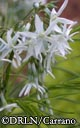 Amsonia hubrechtii -- 2011 Perennial Plant of the Year -- Blue Star