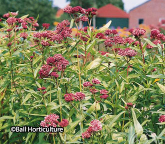 Asclepias incarnata 'Soulmate' – sorry, sold out