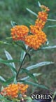 Asclepias tuberosa -- Butterfly weed