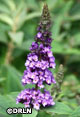 Buddleia Lo & Behold® 'Blue Chip Jr.' – Order soon, one available!  CLEARANCE