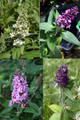 Buddleia 'Pugster' 4-pack: one each 'White,' 'Periwinkle,' 'Blue'