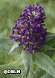 Buddleia 'Pugster Blue' ™ – Order soon, three available!