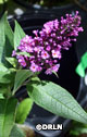 Buddleia 'Pugster Periwinkle' ™ – Order soon, two available!