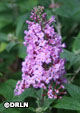 Buddleia 'Pugster Pink' ™ – Order soon, three available!