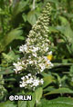 Buddleia 'Pugster White' ™ – Order soon, two available!