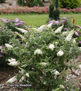 Buddleia 'Pugster White' ™ – Order soon, four available!