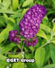 Buddleia davidii 'Evil Ways' – Order soon, three available!