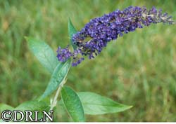Buddleia davidii 'Adonis Blue'™ – Order soon, six available!