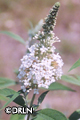 Buddleia davidii 'White Profusion' – Order soon, three available!