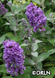 Buddleia x 'Lo & Behold® Blue Chip'