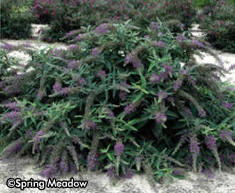Buddleia Lo & Behold® 'Purple Haze' -- Sorry, sold out