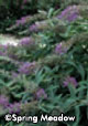 Buddleia x 'Lo & Behold® Purple Haze'