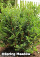 Buxus microphylla 'Green Beauty'
