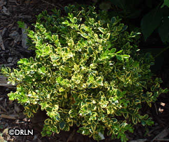 Buxus microphylla Wedding Ring Variegated boxwood plants