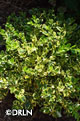 Buxus microphylla 'Wedding Ring'®