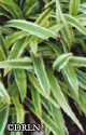 Carex 'Island Brocade' -- 3 available