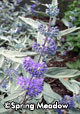Caryopteris x 'Sterling Silver'®