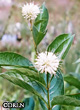 Cephalanthus occidentalis -- Honey balls, Buttonbush