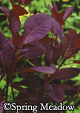 Cotinus x 'Grace' -- Smokebush – order soon, six available