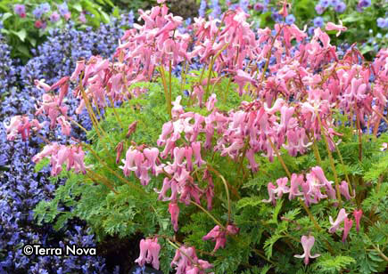 Dicentra ( Lamprocapnos ) 'Amore Pink'