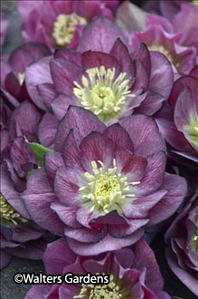 Helleborus 'Best Man' (Wedding Party Series) – Sold out!