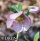 Helleborus x h. 'Winter Joy™ Pink Lady'