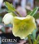Helleborus x h. 'Winter Joy(TM) Yellow Lady'