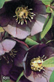 Helleborus x h. 'Metallic Blue Lady'