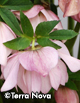 Helleborus x h. 'Cotton Candy'