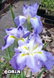 Iris ensata blue and white (variety name unknown) – Save – Only 11 available