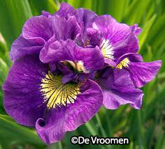 Iris sibirica 'Double Standard' – Order soon, one available!