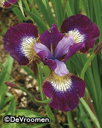 Iris sibirica 'Contrast in Styles' – Sorry, sold out