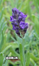 Lavandula angustifolia 'Blue Lance' – Fall clearance! Save 40%. 14 available!