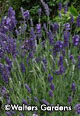 Lavandula angustifolia 'Ellagance Purple' Package of four