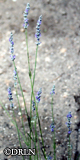 Lavandula x intermedia 'Provence' Package of four