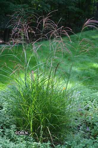 Miscanthus sinensis 'Oktoberfest' – Sorry, sold out