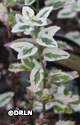 Nepeta x faassenii 'Angel's Wings' – Order soon, 12 available!